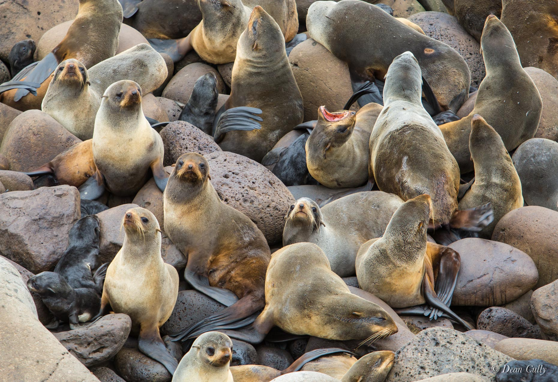 Northern_Fur_Seals_7935