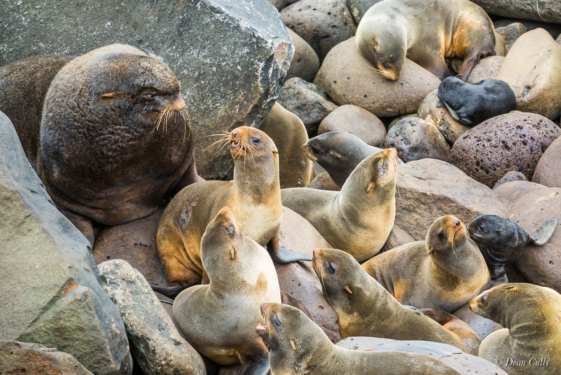 Northern_Fur_Seals_7952