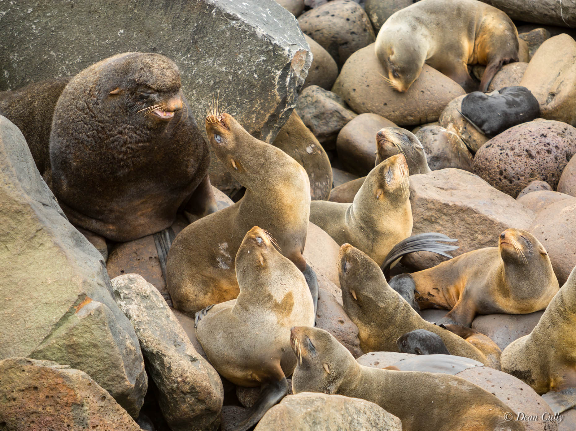 Northern_Fur_Seals_7967