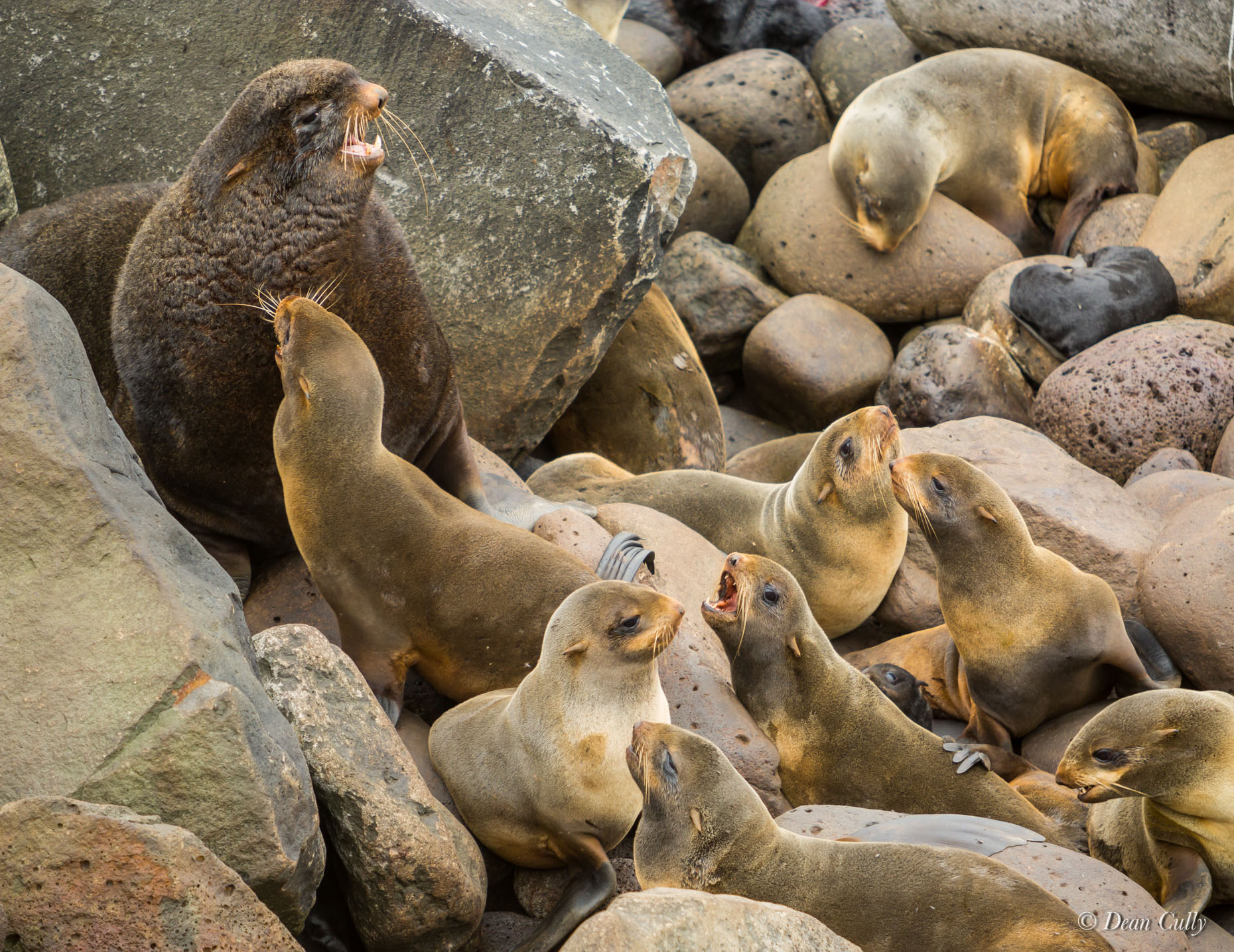 Northern_Fur_Seals_7971