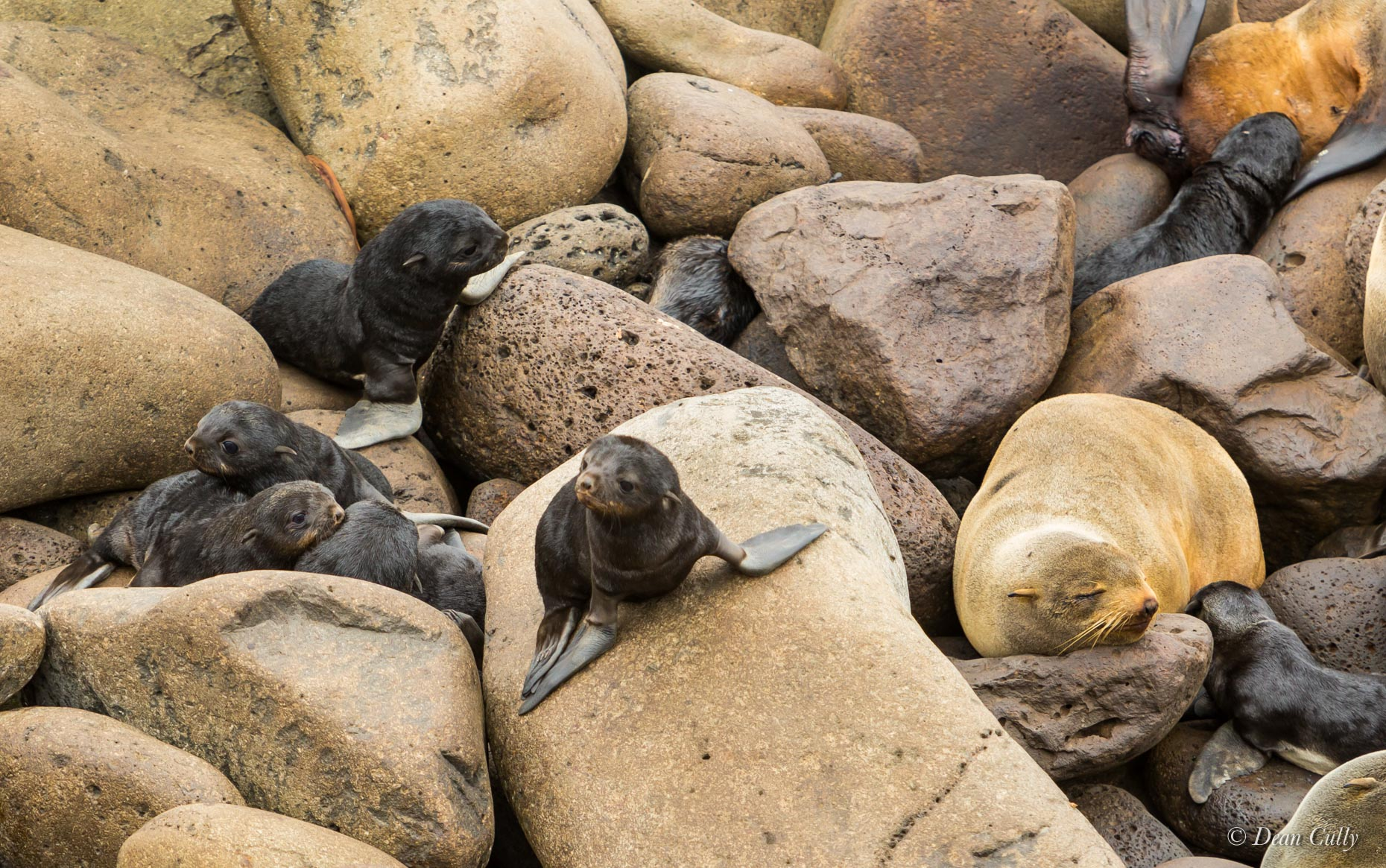 Northern_Fur_Seal_Pups_7983