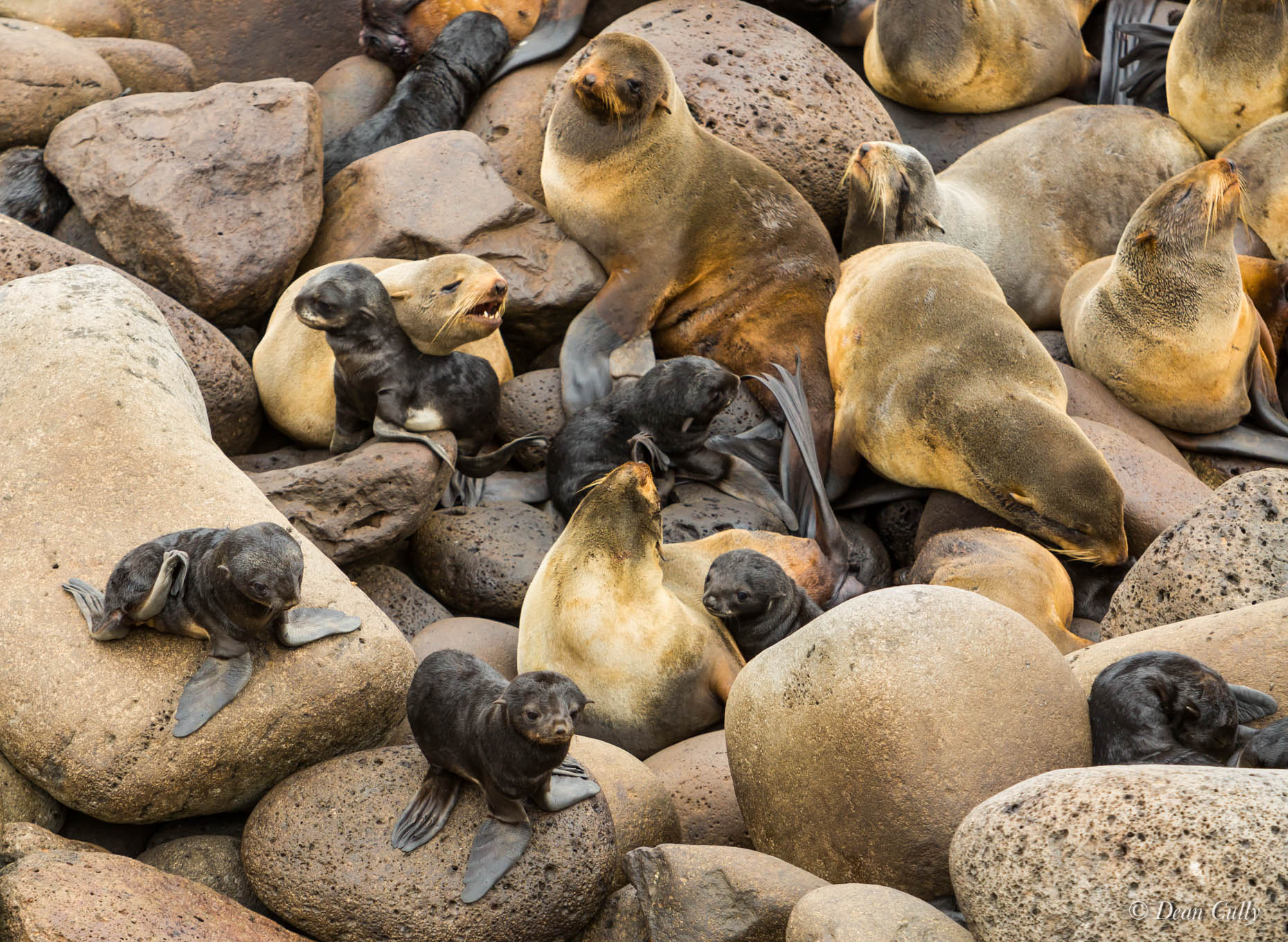 Northern_Fur_Seals_7993