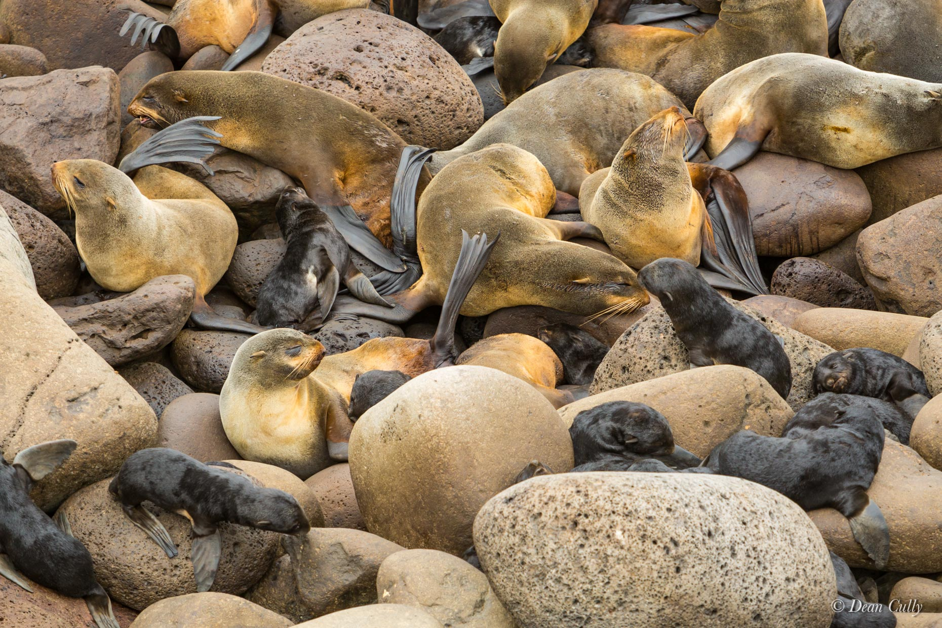 Northern_Fur_Seals_8024