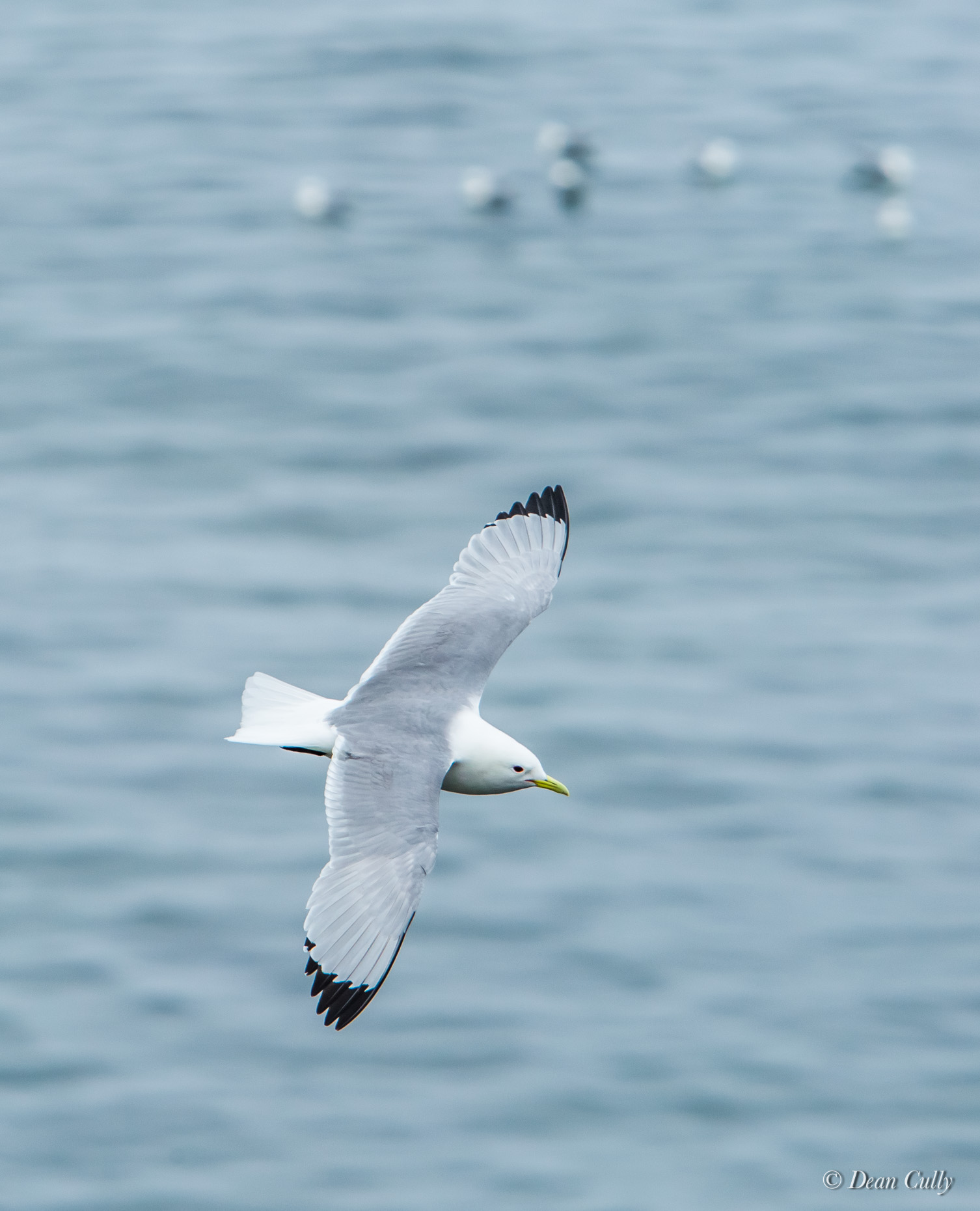 Kittiwake_Black_Legged_8126