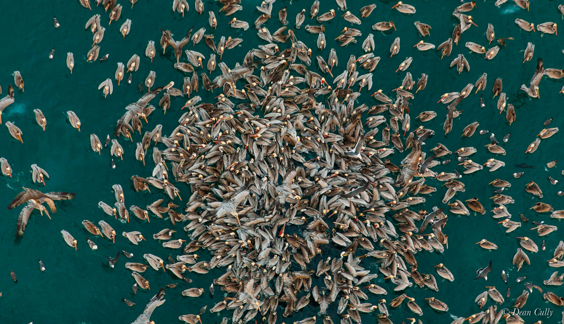 aerial_pelicans_feeding_frenzy_pacific_california_3260